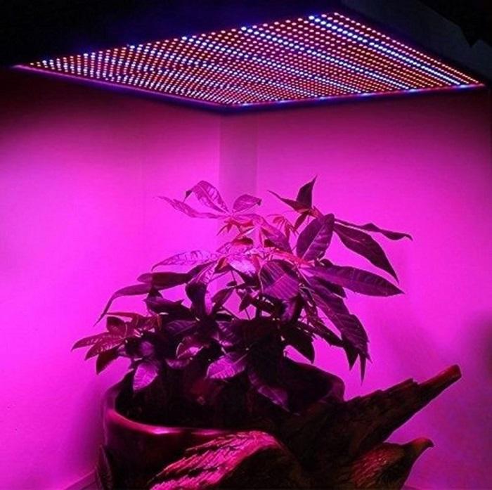Выращивание пепино в оранжерее