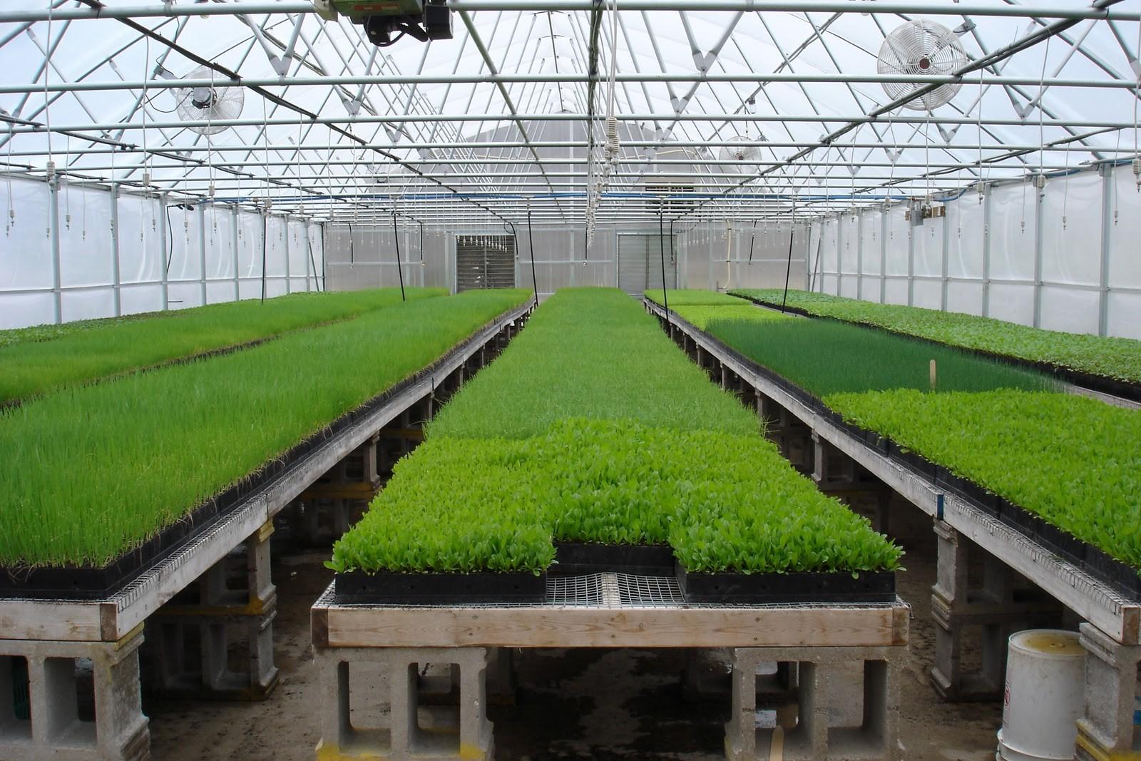 Выращивание рассады на гидропонике позволяет эффективно использовать площадь теплиц