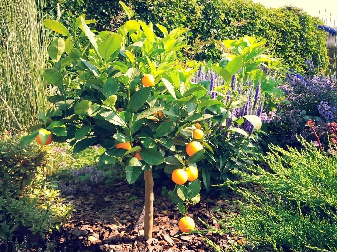 В саду горшок с растением лучше закопать в землю