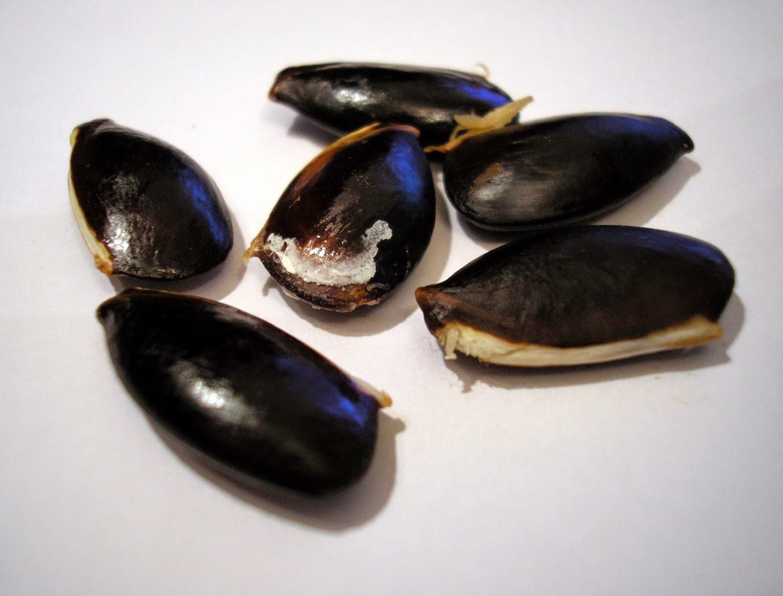 Готовые к посадке набухшие семена