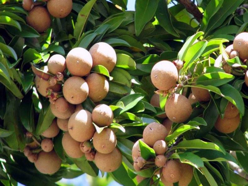 Дерево с плодами лонгана
