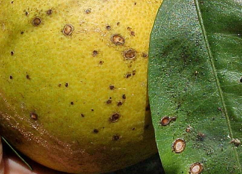 Заболевшее растение обрабатывают фунгицидами, пораженные листья и плоды удаляют