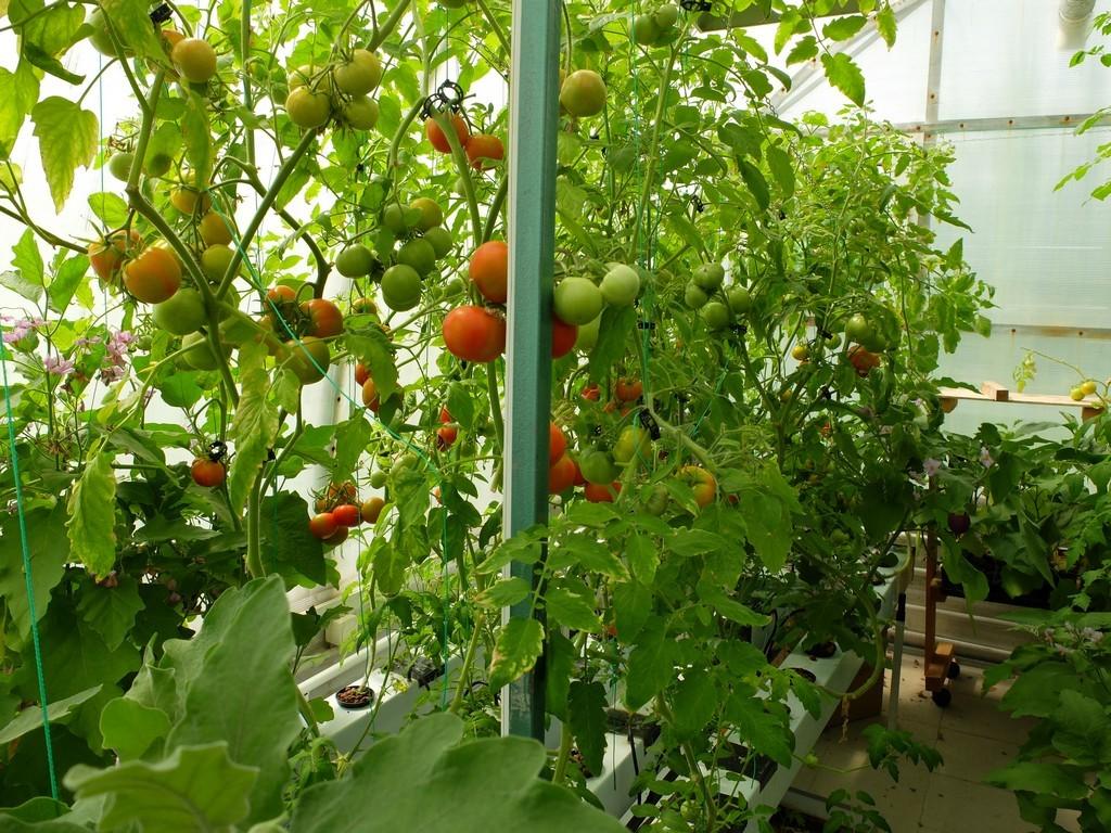 Затрачивая меньше сил на развитие корней и добычу питания, растения пускают их на образование плодов
