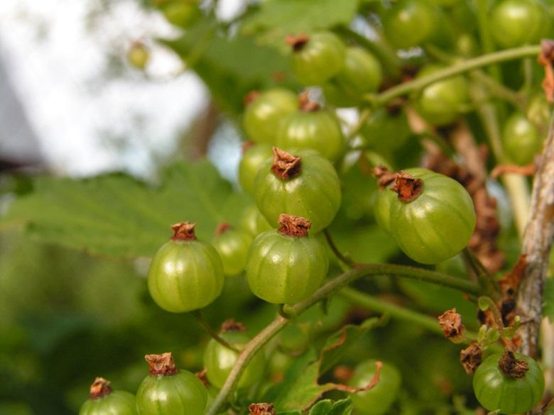 Зеленоплодная смородина Слеза Исиды