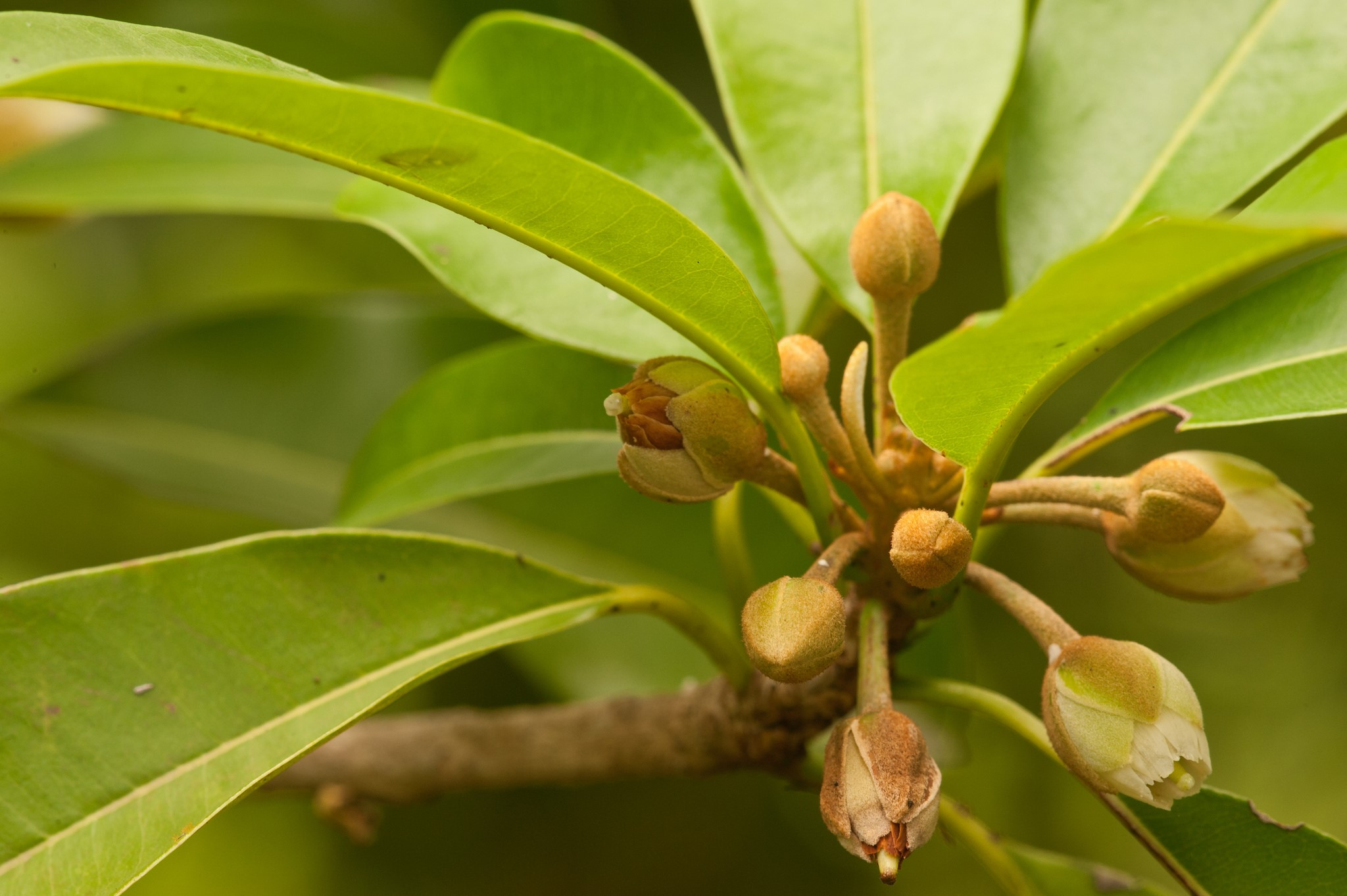 Из цветов вскоре формируются плоды саподилла