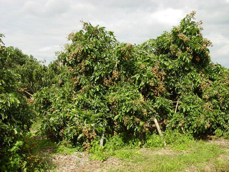 Лонган фото дерева в естественной среде обитания
