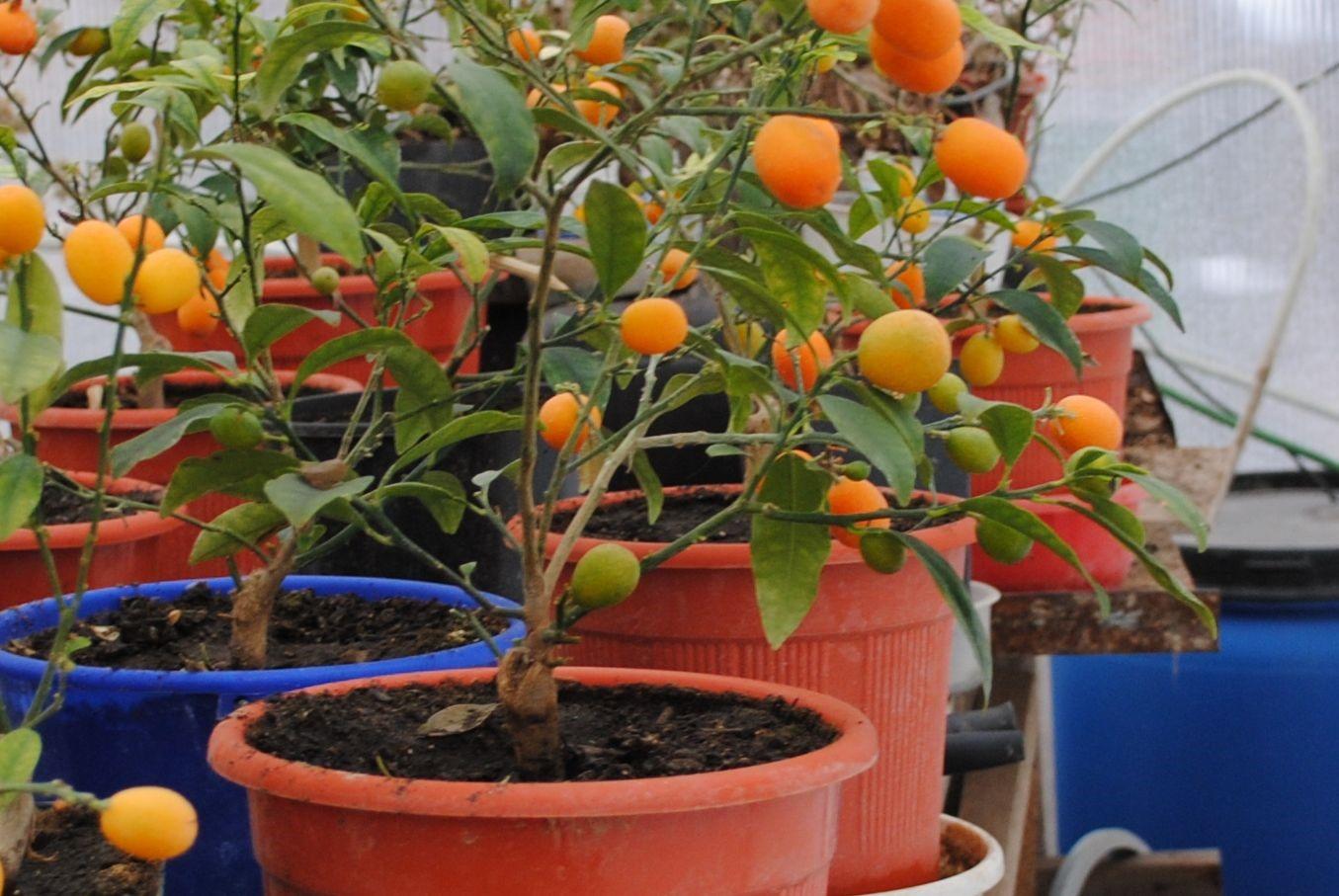 Почва под растением всегда должна быть влажной, но не мокрой