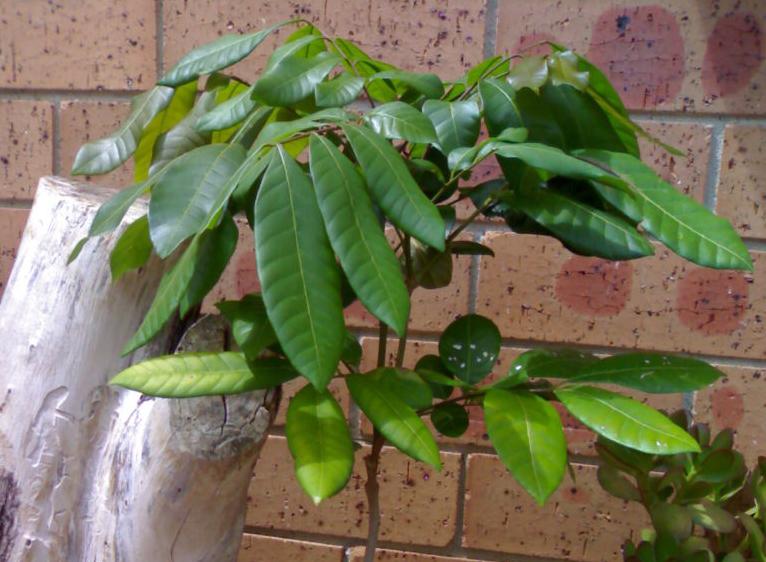Саподилла фото деревца, выращенного в домашних условиях