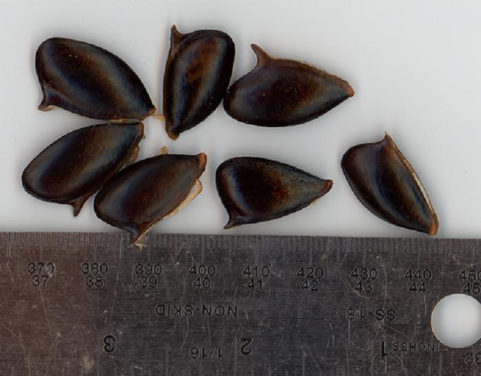 Семена с опасным «крючком»