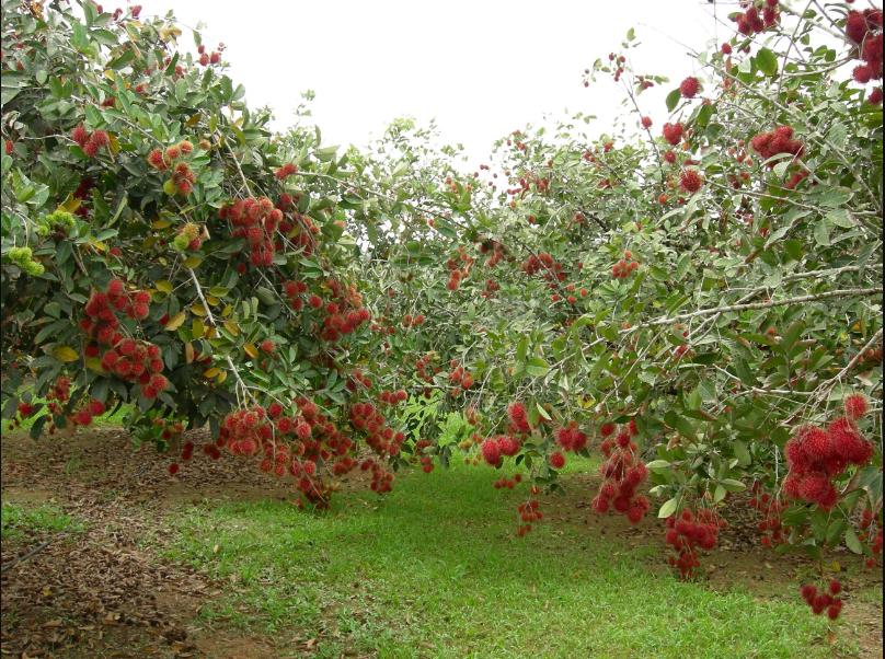 Рамбутан – фото плодоносящих деревьев