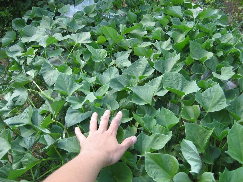 Заросли батата заглушают рост сорняков и не требуют прополки