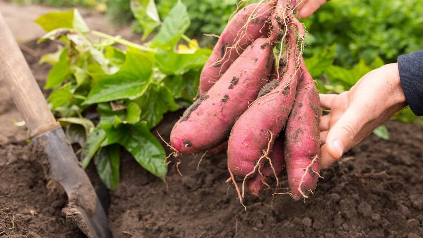 Сладкий картофель батат выращивание
