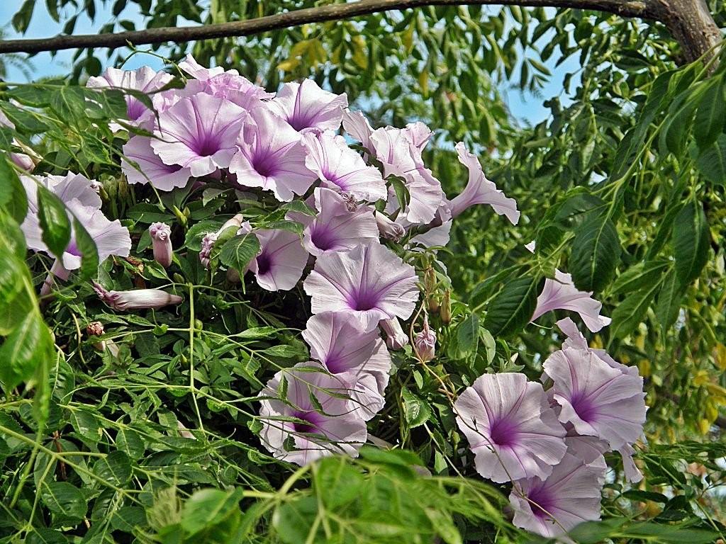 Цветущий батат