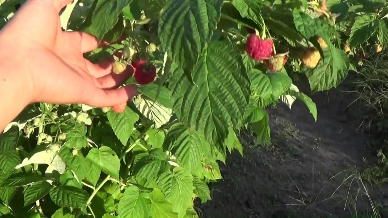 Много листьев, мало ягод – это избыток азота