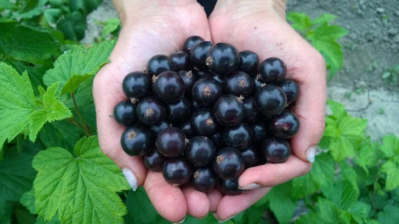 Регулярная подкормка – гарантия отличного урожая