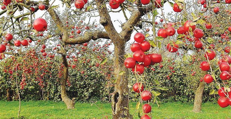 Южные яблоки – крупные и сладкие