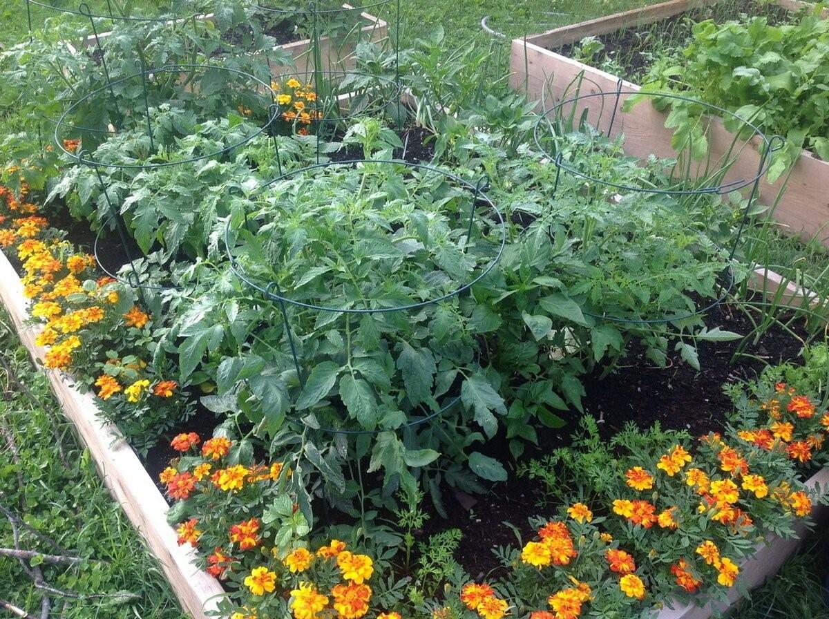 Бархатцы украсят грядку и уберегут томаты от болезней