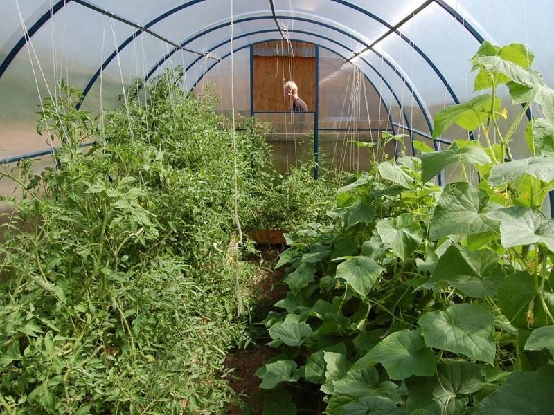 В теплице томаты чаще всего заболевают из-за тесноты и несоблюдения влажностного режима
