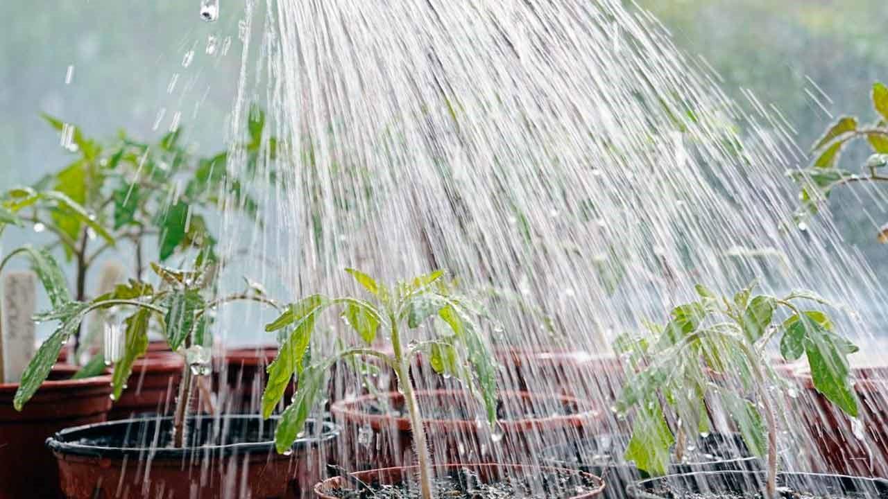 Горячий душ – спасение от фитофторы