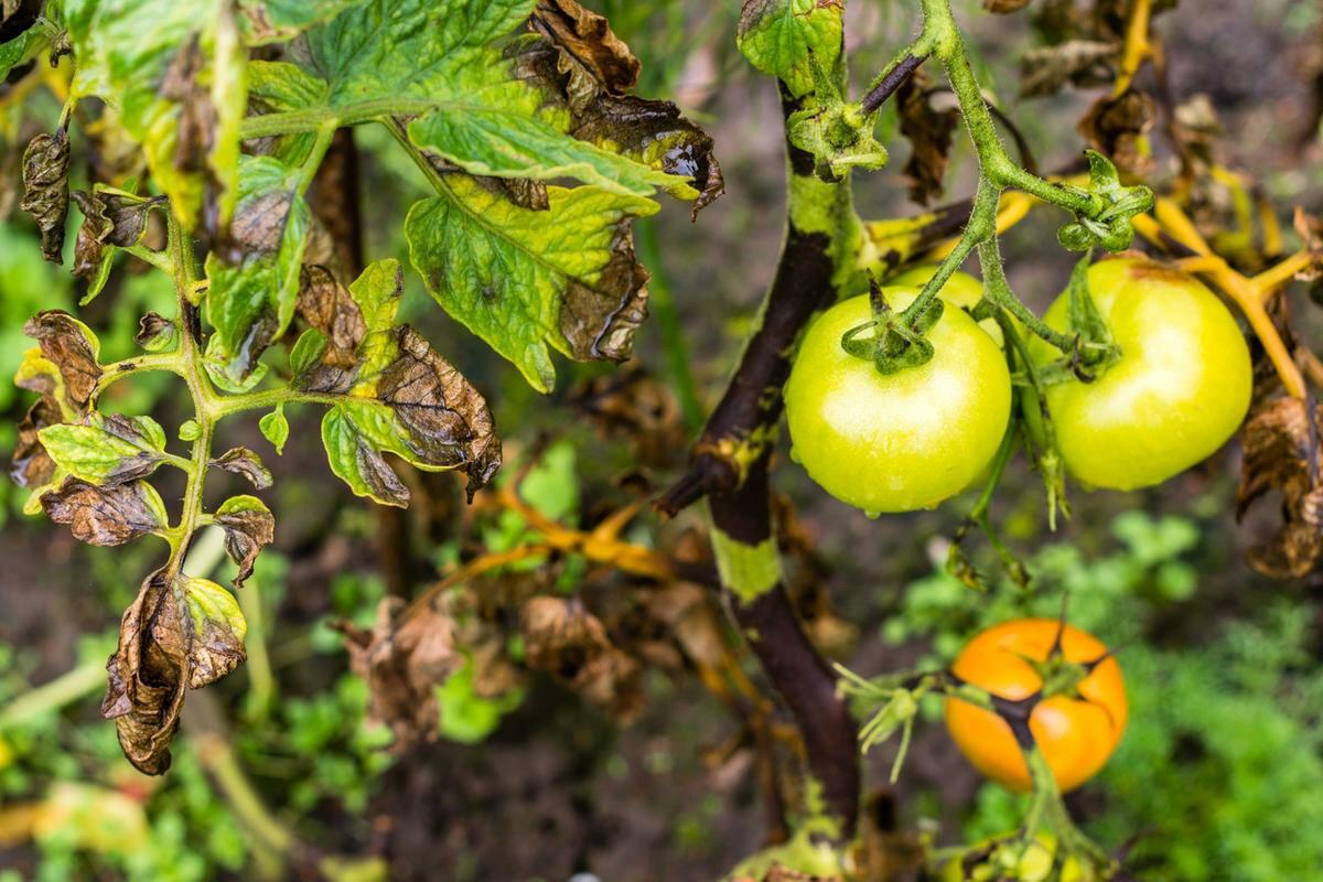 Первыми поражаются листья и стебли
