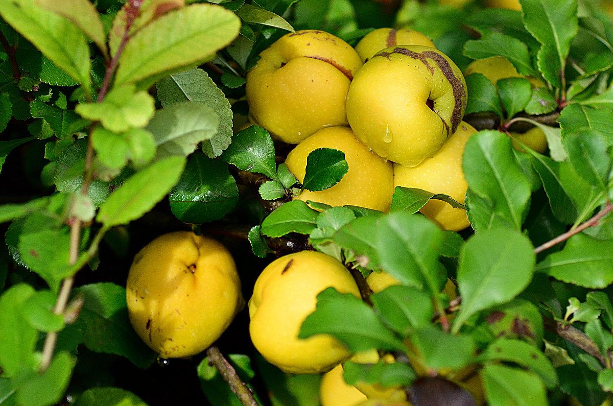 Плоды японской айвы