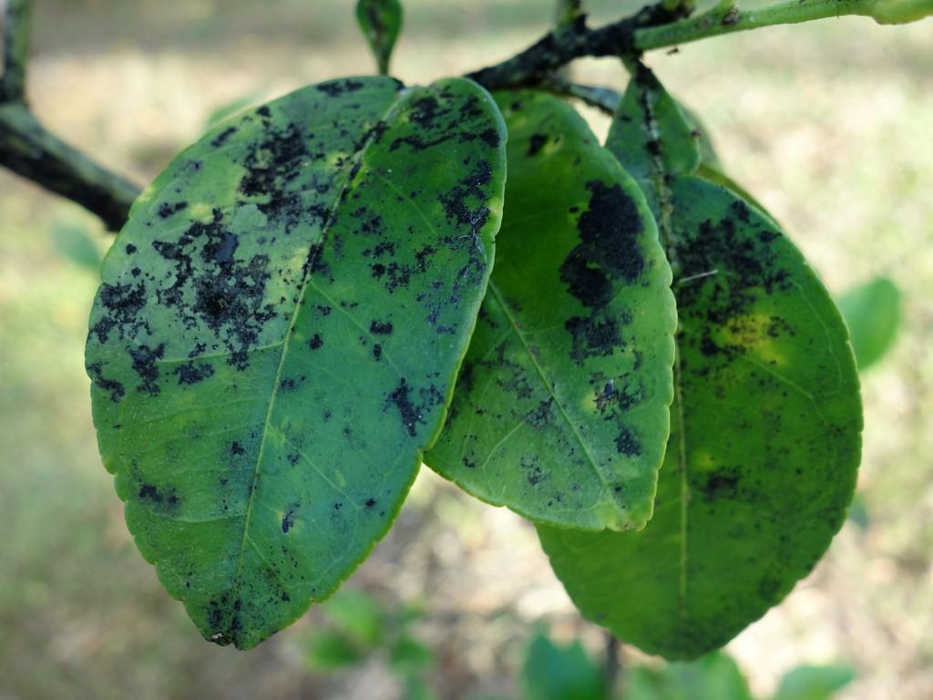 Поздняя стадия поражения тлей – разрастание сажистого грибка