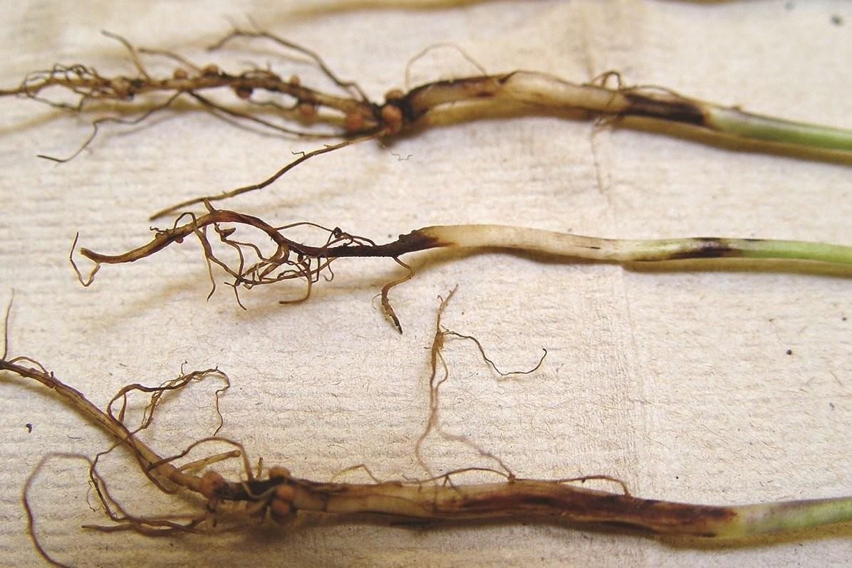 Пораженные гнилью корни рассады