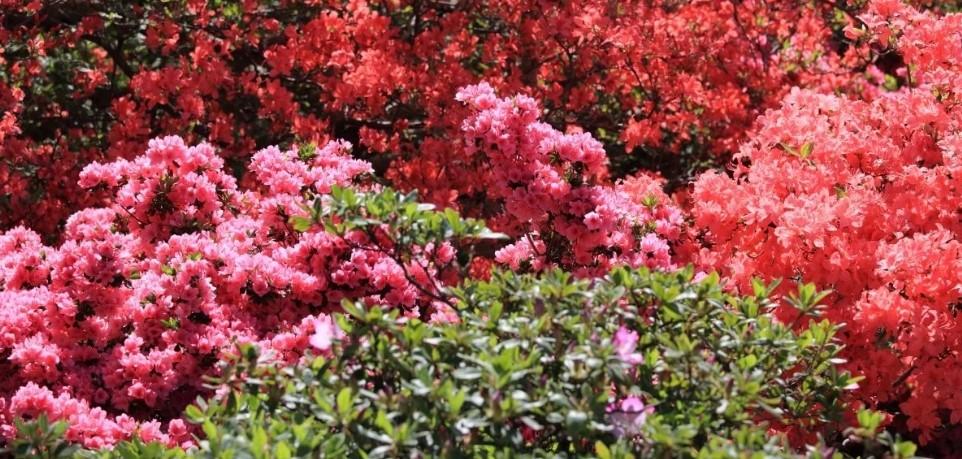 Рододендроны особенности растения, советы по выращиванию