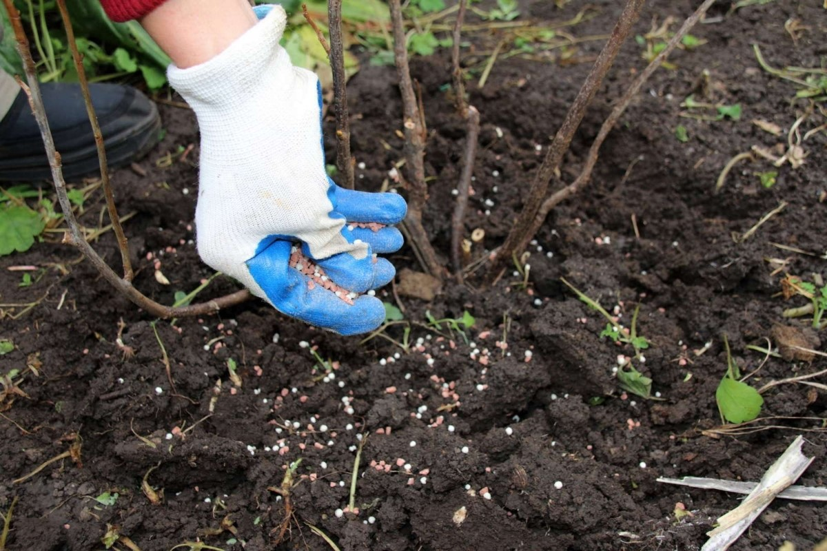 Удобрение рассыпают по взрыхленной и увлажненной земле