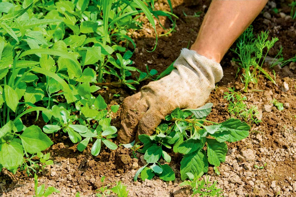 Борьба с сорняками – важная профилактическая мера