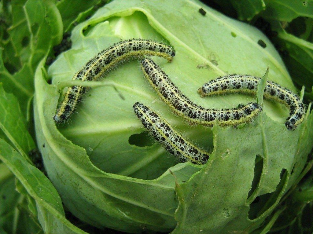 Гусеницы белянки