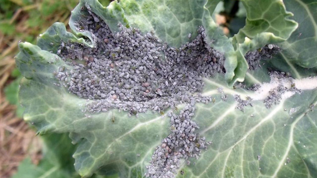Колония капустной тли