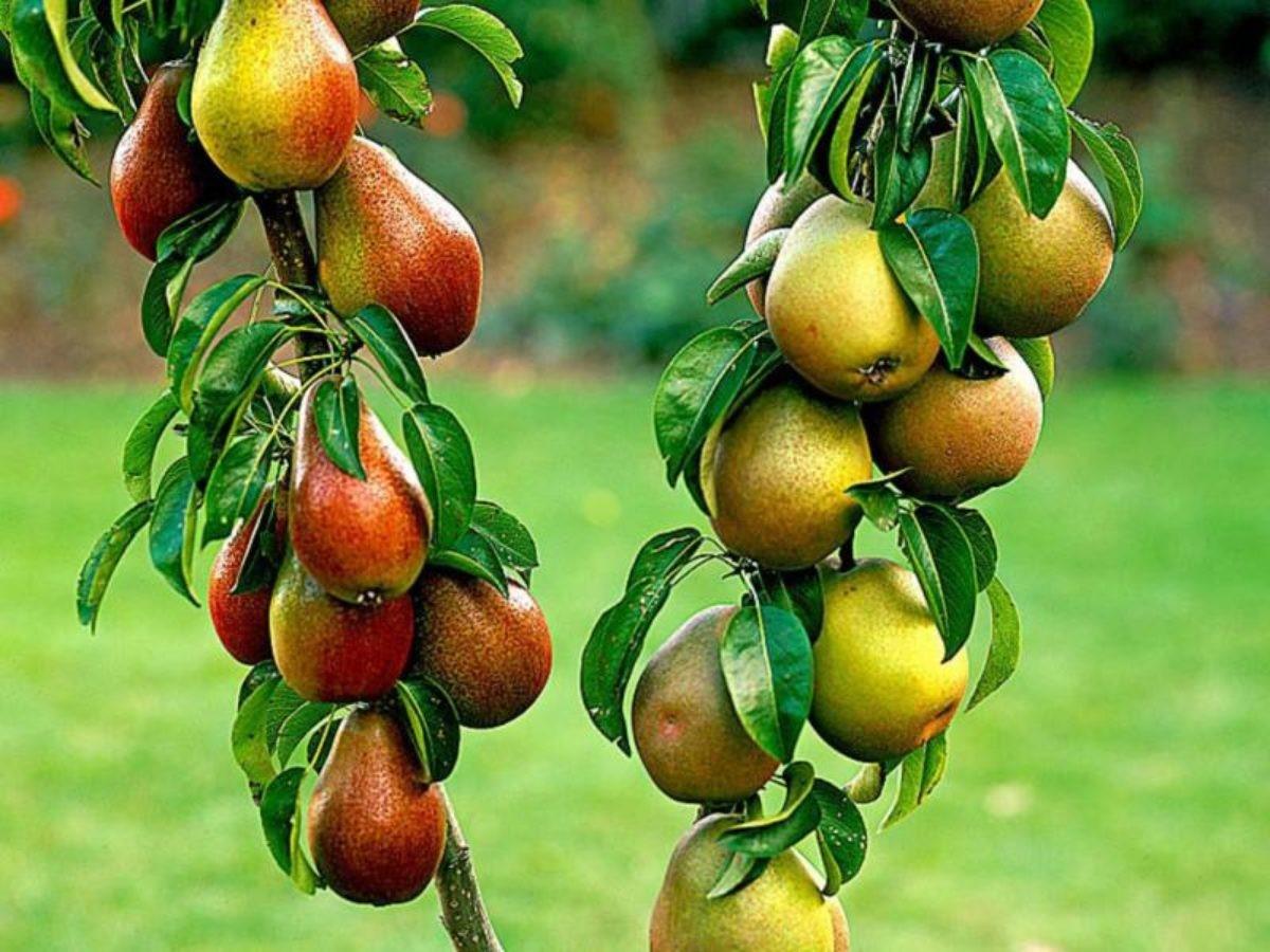 Многие сорта груш можно успешно выращивать в зонах рискованного земледелия