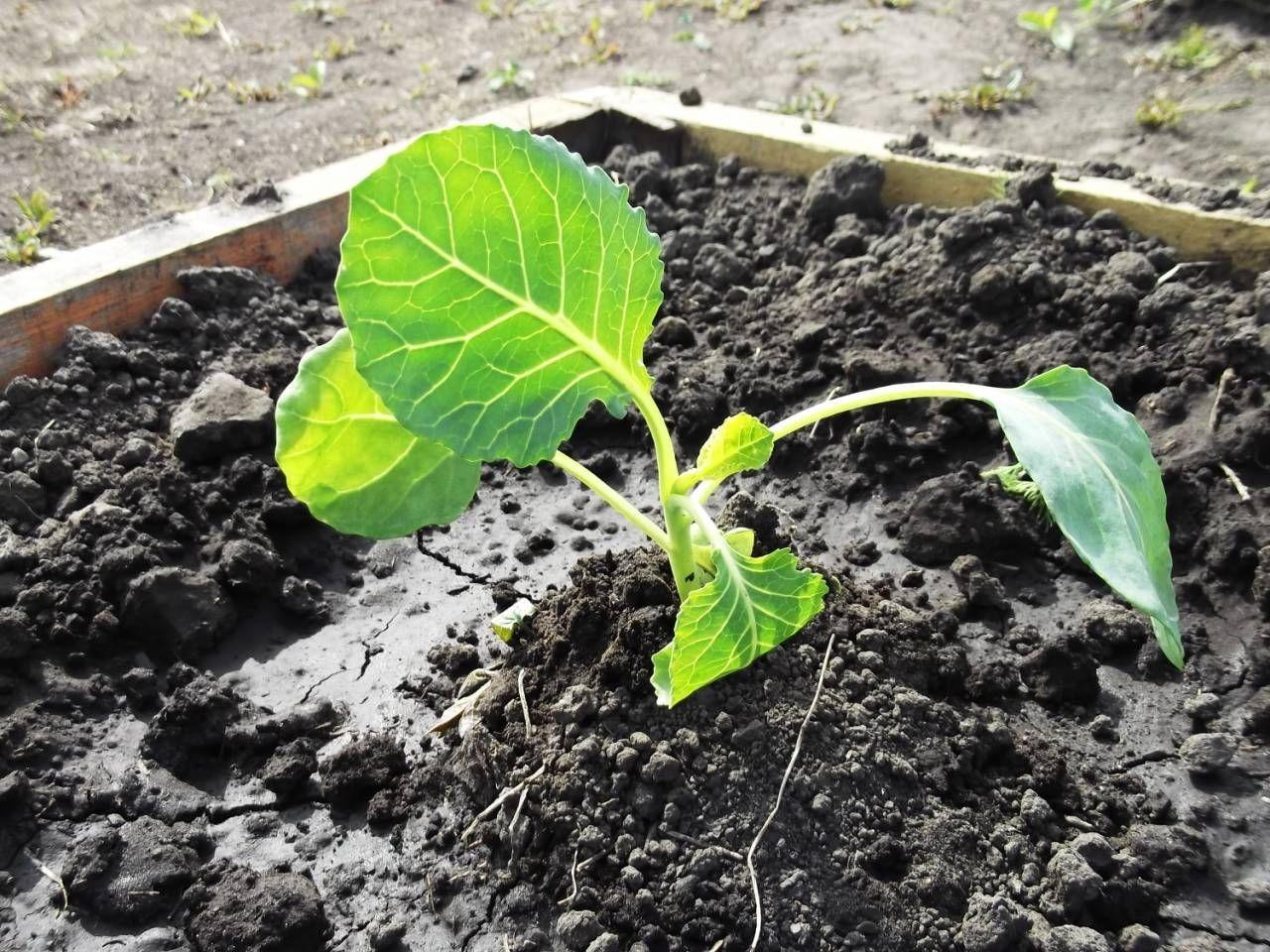 Опыление золой защитит рассаду от блошек