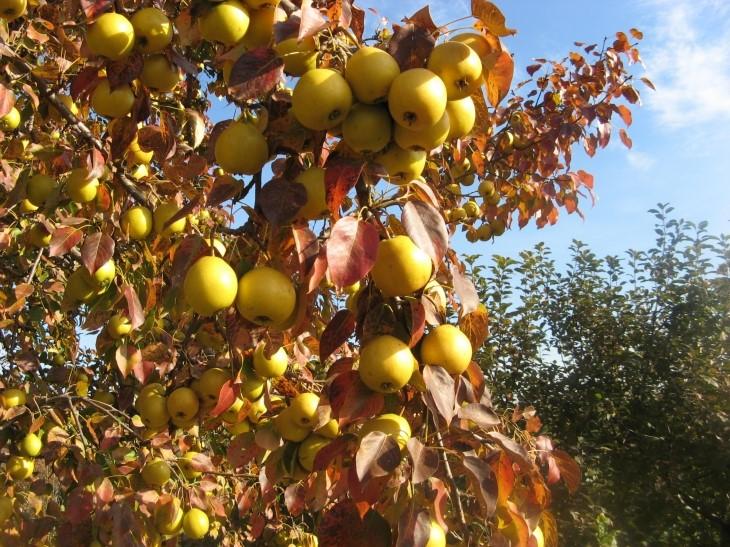 Плоды Береженой похожи на яблоки