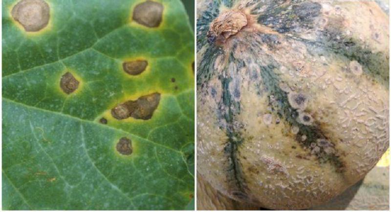 Антракноз на листьях и зрелых плодах