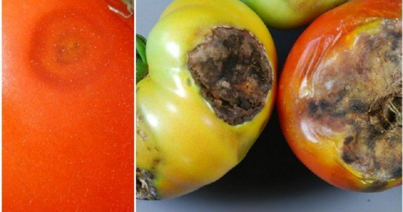 Антракноз на плодах томатов