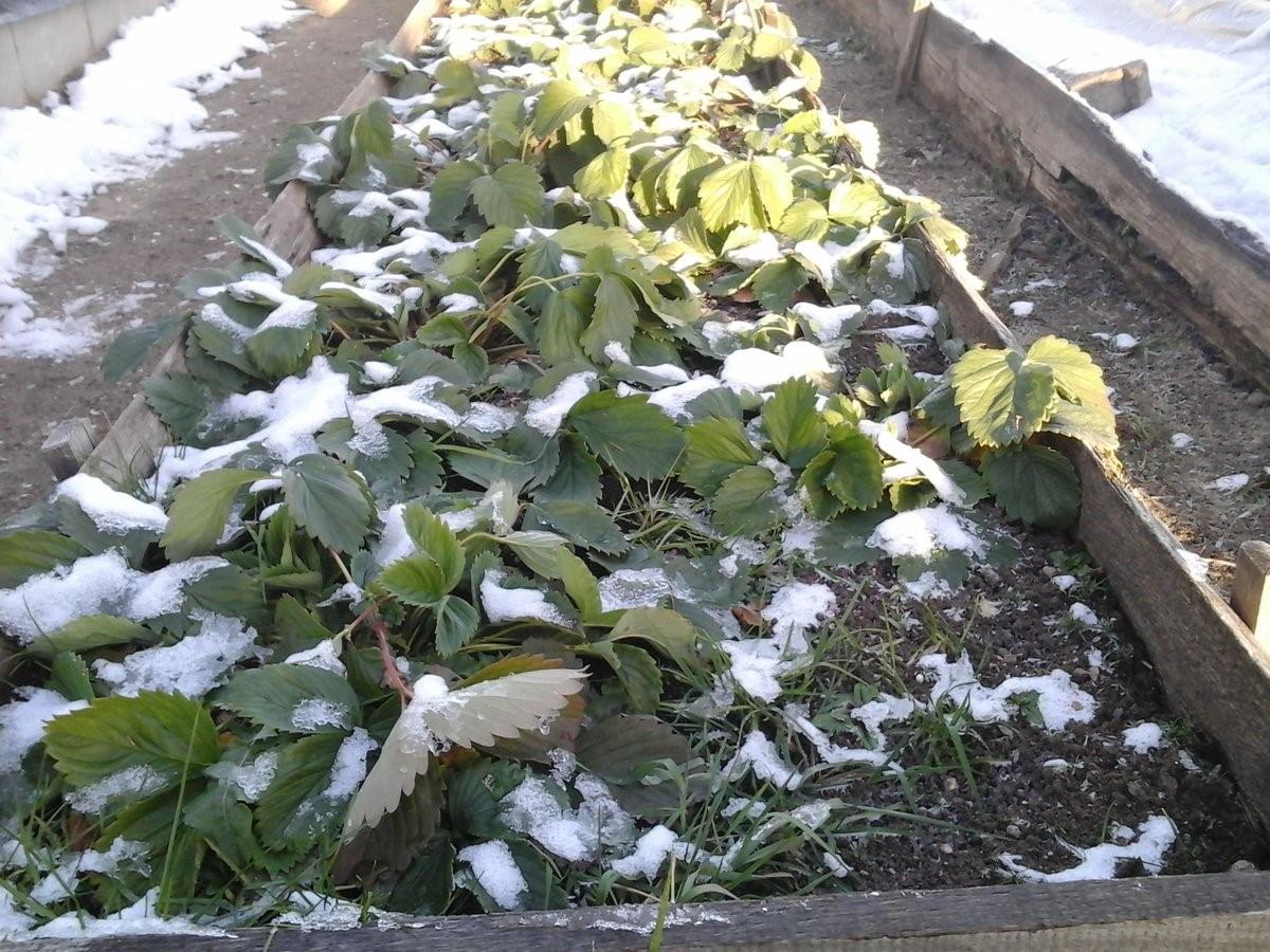 Первый снег на клубнике