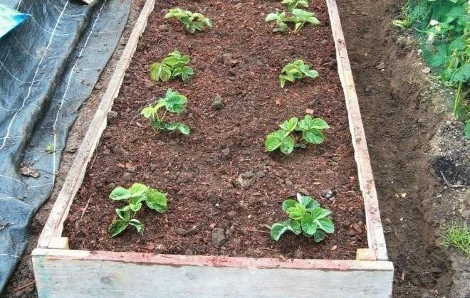 При мульчировании компостом важно не завалить им вегетативные почки, оставив их над поверхностью