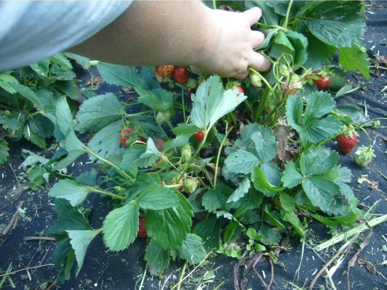 Ремонтантная клубника может плодоносить до глубокой осени