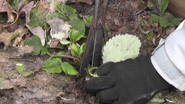 Чистка грядок от больных листьев
