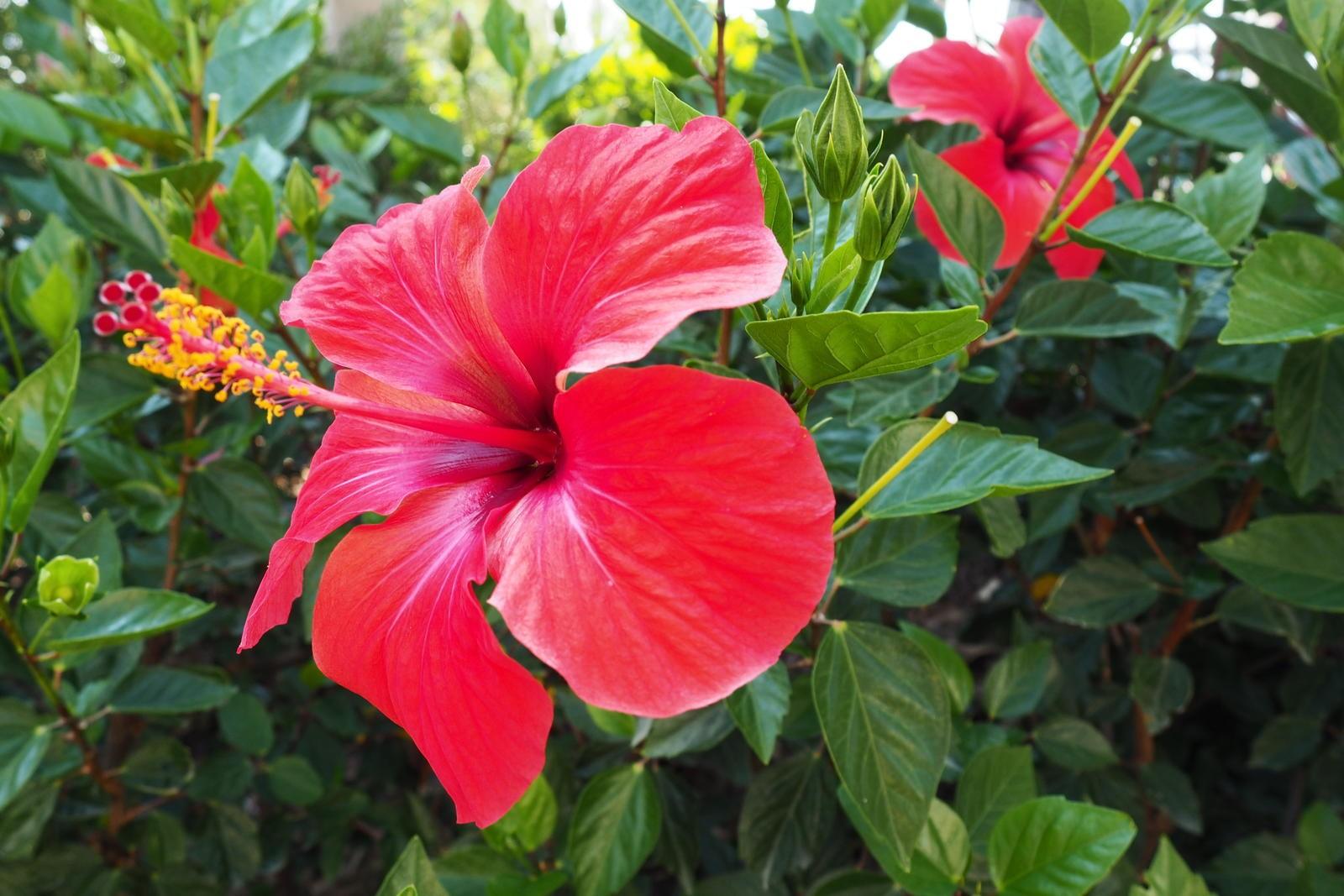 Гибискус фото – комнатный цветок крупных размеров