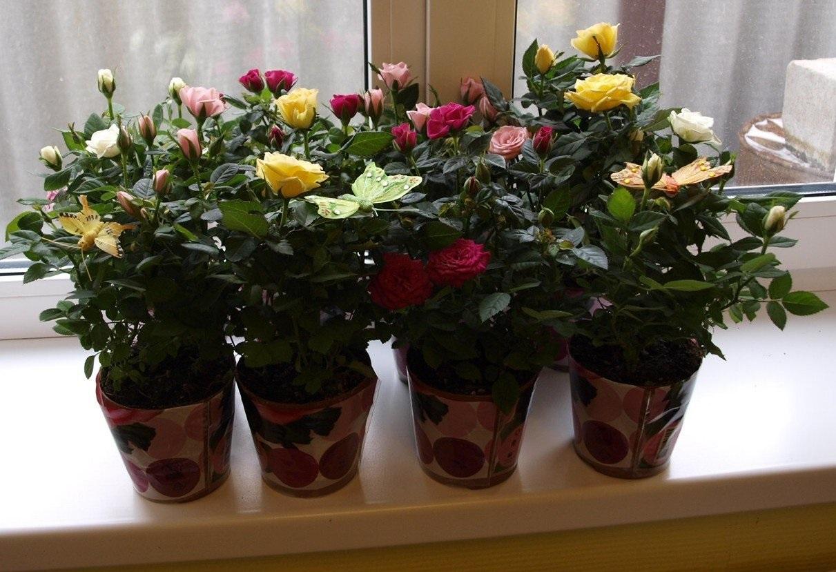 Домашние горшечные розы Кордана