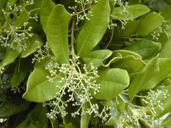 Как растет душистый перец горошком – фото цветущего растения