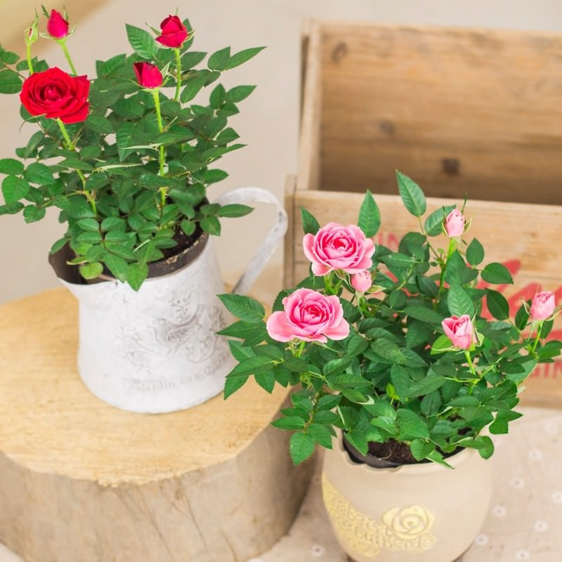 Летом комнатные розы прекрасно чувствуют себя на свежем воздухе