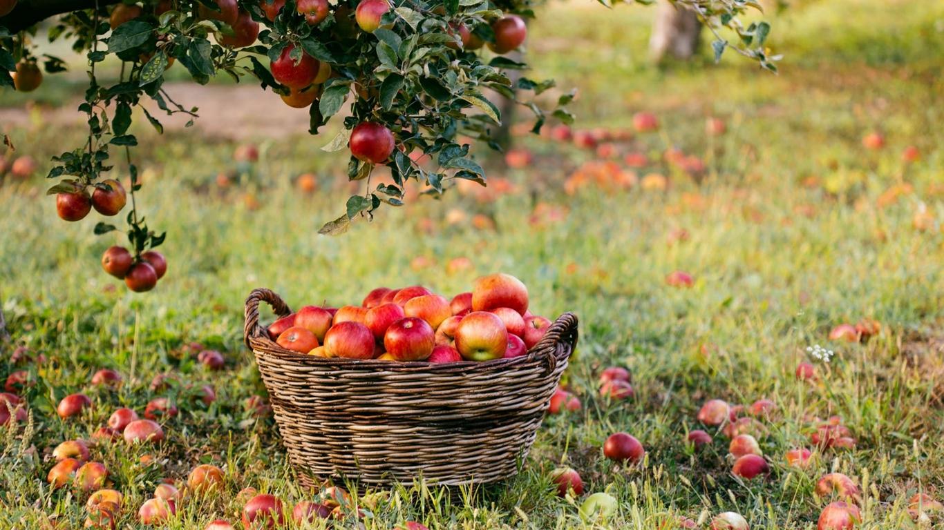 Лето – яблочная пора