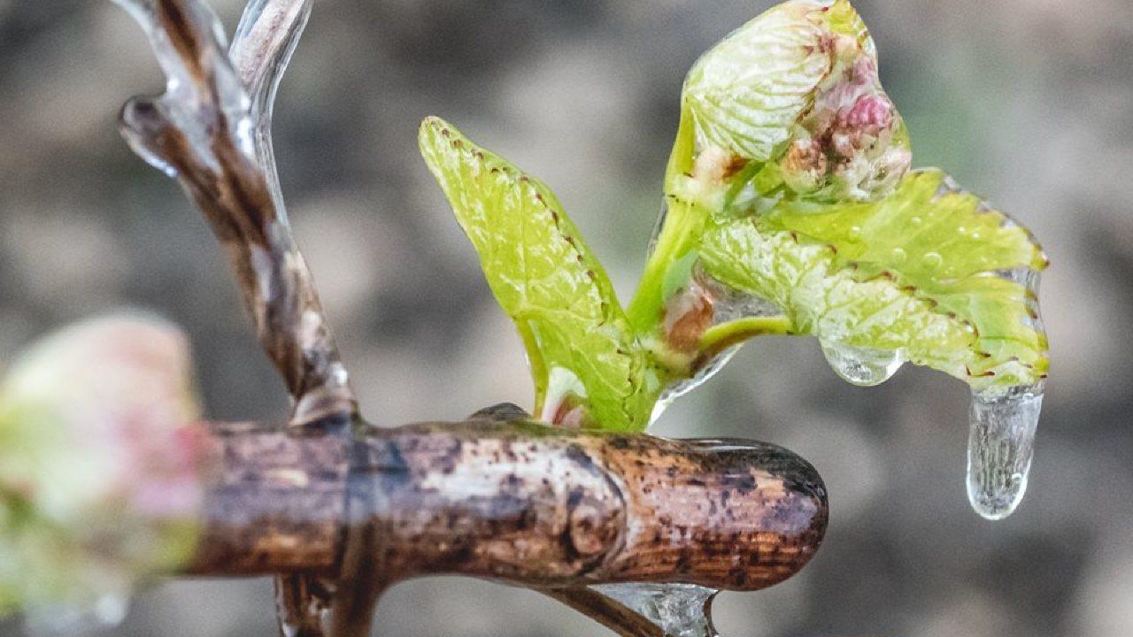 Мочевина защитит сад от возвратных заморозков