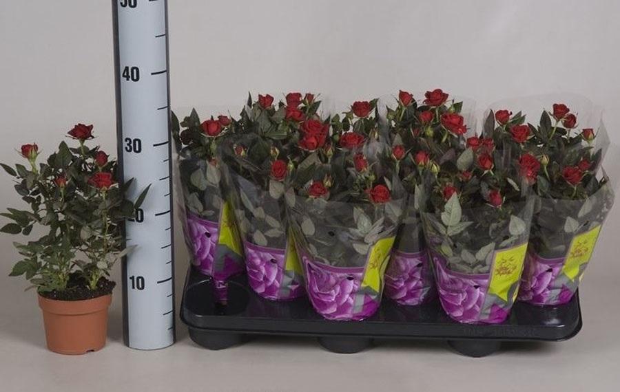 Особенно внимательно нужно выбирать цветы, продающиеся в обычных супермаркетах, где им невозможно обеспечить должный уход
