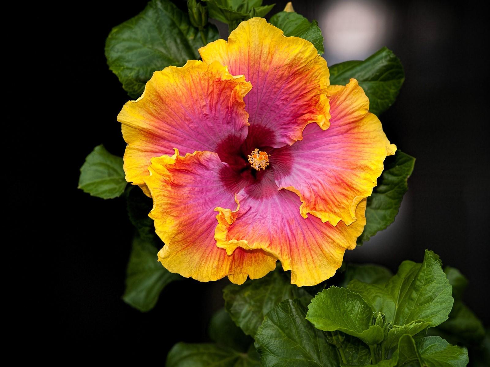 Полумахровый цветок гибискуса необычной расцветки