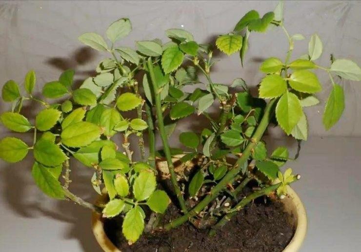 Так выглядит растение зимой